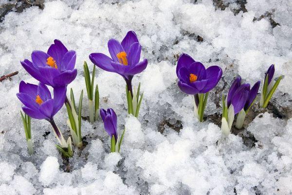 tavaszihagym1